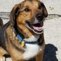 Adopt A Pet :: Beagle - Twinsburg, OH