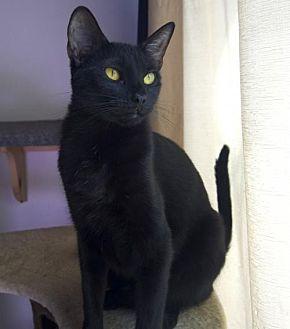 Bombay Cat for adoption in Santa Monica, California - Beyonce