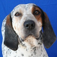 Bluetick Coonhound Mix Dog for adoption in Pagosa Springs, Colorado - Stella