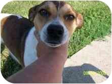 Feist/Beagle Mix Dog for adoption in McConnelsville, Ohio - JR
