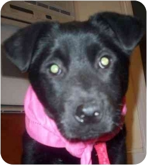 Labrador Retriever Mix Puppy for adoption in Chapel Hill, North Carolina - Cyrus