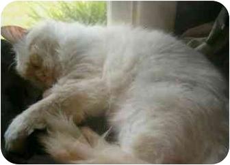 Siamese Cat for adoption in Keizer, Oregon - Julia Sponsor me :)