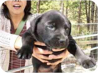 Labrador Retriever/German Shepherd Dog Mix Puppy for adoption in Arlington, Virginia - Bear