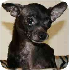 Chihuahua Dog for adoption in House Springs, Missouri - Nicole