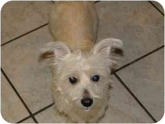 Westie, West Highland White Terrier/Terrier (Unknown Type, Small) Mix Dog for adoption in Arlington, Texas - Rosalinda