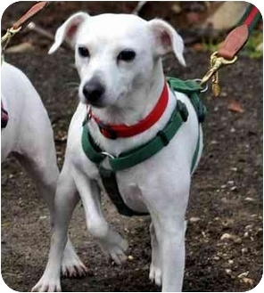 Jack Russell Terrier Dog for adoption in Rhinebeck, New York - Jakey 2