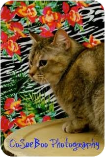 Abyssinian Cat for adoption in Warren, Michigan - Abbey