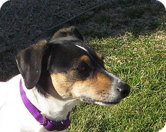 Jack Russell Terrier/Rat Terrier Mix Dog for adoption in Scottsdale, Arizona - ATHENA