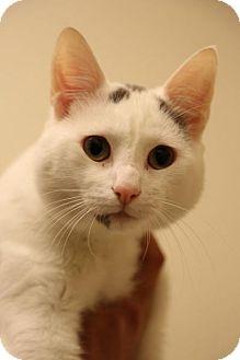 Domestic Shorthair Cat for adoption in Bellingham, Washington - Rocko