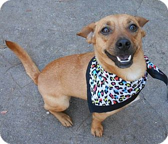 Chihuahua/Dachshund Mix Dog for adoption in Ormond Beach, Florida - Petey