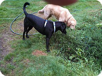 Labrador Retriever Dog for adoption in Gig Harbor, Washington - Maisy