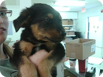 Shepherd (Unknown Type) Mix Puppy for adoption in Waldorf, Maryland - Lex