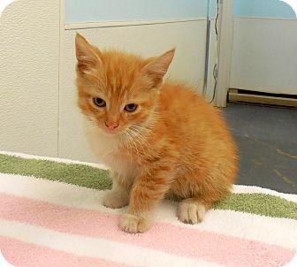 Domestic Shorthair Kitten for adoption in Sylva, North Carolina - Benny