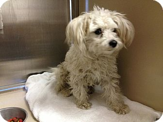 Bichon Frise/Poodle (Miniature) Mix Dog for adoption in Calgary, Alberta - Stella