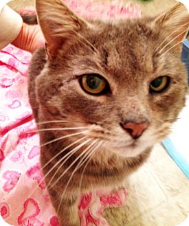 American Shorthair Cat for adoption in Xenia, Ohio - Diego