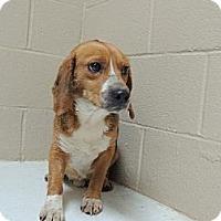 Adopt A Pet :: Benji - Nanuet, NY