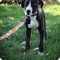 Adopt A Pet :: BUMBLEbee - Broomfield, CO