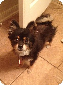 Pomeranian Dog for adoption in conroe, Texas - Kenya
