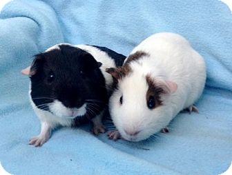Guinea Pig for adoption in Dublin, California - Squiggy & Lenny