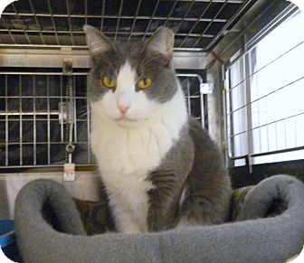 Domestic Shorthair Cat for adoption in Cliffside Park, New Jersey - ASTRID