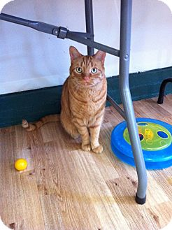 Domestic Shorthair Cat for adoption in Speonk, New York - Trent