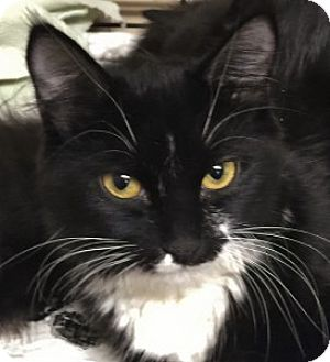 Domestic Mediumhair Cat for adoption in Medford, Massachusetts - Frannie