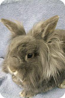 Lionhead Mix for adoption in Harrisburg, Pennsylvania - Bunnie