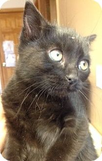 Domestic Shorthair Kitten for adoption in Divide, Colorado - Iko
