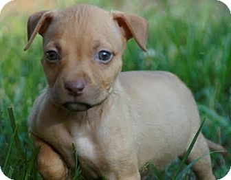Pit Bull Terrier Mix Puppy for adoption in Salem, New Hampshire - Dan