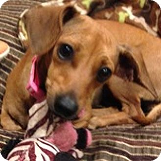 Dachshund Mix Dog for adoption in Houston, Texas - Kayla Kudzu