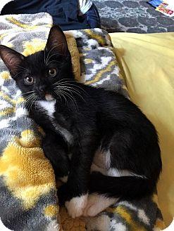 Domestic Shorthair Kitten for adoption in Las Vegas, Nevada - Janet