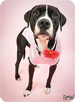 Labrador Retriever/Pit Bull Terrier Mix Dog for adoption in Phoenix, Arizona - Ariel