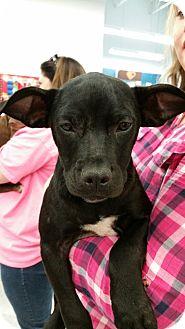 Labrador Retriever/Plott Hound Mix Puppy for adoption in Harrisburg, North Carolina - Alexa