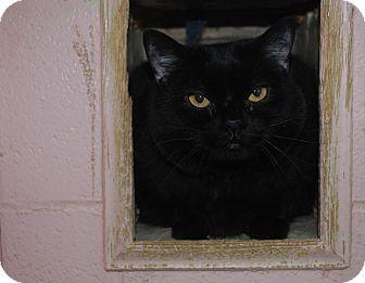 Domestic Shorthair Cat for adoption in New Castle, Pennsylvania - Ho-Ho