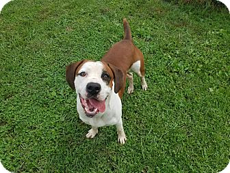 Boxer Mix Dog for adoption in Moberly, Missouri - Comett