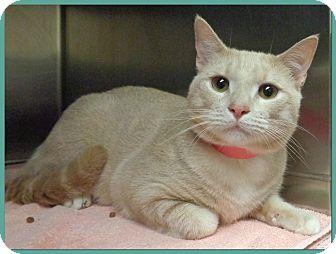Domestic Shorthair Cat for adoption in Marietta, Georgia - BILL