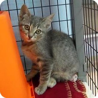 Domestic Shorthair Kitten for adoption in Janesville, Wisconsin - Remoulade