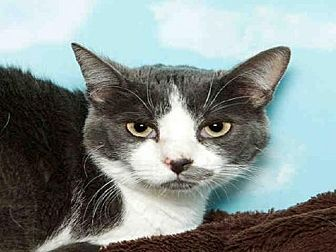 Domestic Mediumhair Cat for adoption in Alameda, California - BELLE