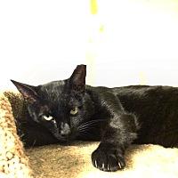 Domestic Shorthair Cat for adoption in Queens, New York - Jasper