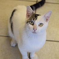 Adopt A Pet :: Petey - DFW Metroplex, TX