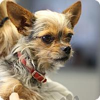 Adopt A Pet :: Sia - Yukon, OK