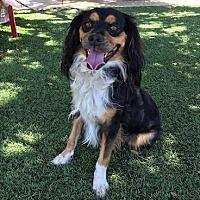 Adopt A Pet :: Piccolo Pete - Temecula, CA
