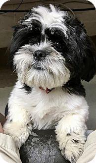 Shih Tzu Puppy for adoption in Rockville, Maryland - Oscar