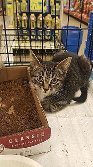 Domestic Shorthair Kitten for adoption in East Brunswick, New Jersey - Stanley