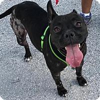 Adopt A Pet :: Sapphire - Fort Lauderdale, FL