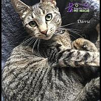 Domestic Mediumhair Cat for adoption in Richardson, Texas - Darrie