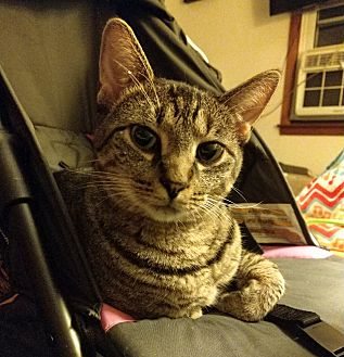 Domestic Shorthair Cat for adoption in St. Louis, Missouri - Wednesday