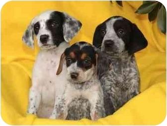 German Shorthaired Pointer Mix Puppy for adoption in El Segundo, California - Betty