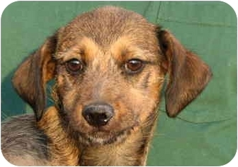 Fox Terrier (Wirehaired)/Chihuahua Mix Dog for adoption in EASLEY, South Carolina - DANCER