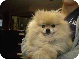 Pomeranian Mix Dog for adoption in Barrie, Ontario - Rainey